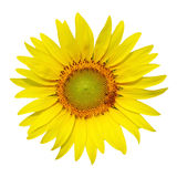 Sunflower isolated on white background Stock Photo
