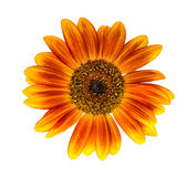 Sunflower isolated on white background Royalty Free Stock Image