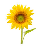 Sunflower isolated Stock Images