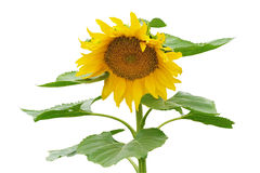 Sunflower isolated on white background, clipping path included Royalty Free Stock Images