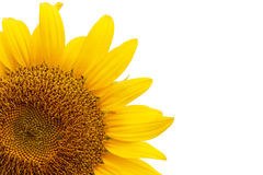 Sunflower isolated on white background Royalty Free Stock Photos