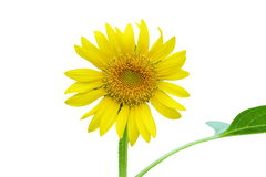 Sunflower isolated on white background. Royalty Free Stock Photo