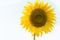 Sunflower isolated with white background Royalty Free Stock Photography