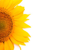 Sunflower isolated on white background Stock Photography