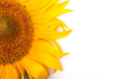 Sunflower isolated on white background Stock Photos