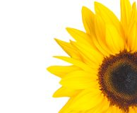 Sunflower isolated on white background Royalty Free Stock Images