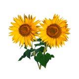 Sunflower isolated on white. Background stock photos