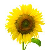 Sunflower isolated on white background with clipping path stock photo