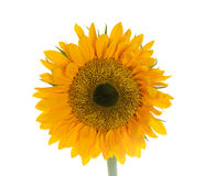 Sunflower. Isolated on White Background Stock Photography