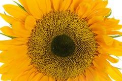 Sunflower. Isolated on White Background Stock Photos