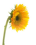 Sunflower. Isolated on White Background Royalty Free Stock Images