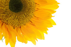 Sunflower. Isolated on White Background Stock Images