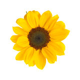 Sunflower isolated on white Royalty Free Stock Photography