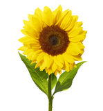 Sunflower isolated on white with clipping path Royalty Free Stock Images