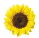 Sunflower isolated on white with clipping path Stock Images