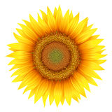 Sunflower, isolated on white Royalty Free Stock Images