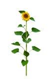 Sunflower isolated on white Royalty Free Stock Image