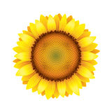 Sunflower isolated on white vector Royalty Free Stock Images