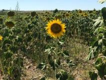 Sunflower at its maximum splendor stock photos