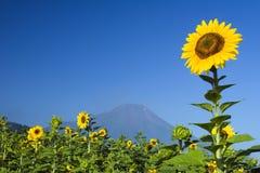 Sunflower IV Royalty Free Stock Photo