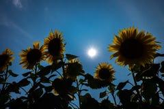 Sunflower Japan Stock Photos