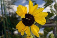 A sunflower and Japanese bee. In Osaka Royalty Free Stock Photos