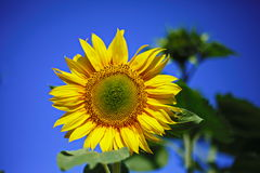 Sunflower joy happiness. Sunflower blue sky close-up yellow sunny joy flower stock photos