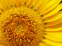 Sunflower laden with pollen Royalty Free Stock Images