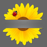 Sunflower and ladybird on grey background. Royalty Free Stock Photos