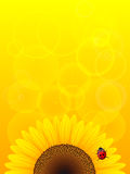 Sunflower and ladybird on yellow background. Royalty Free Stock Image