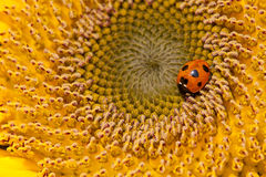 Sunflower and ladybirds Royalty Free Stock Images