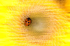 Sunflower and ladybirds. For background Stock Photo