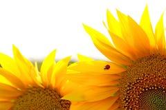 Sunflower & ladybug Stock Images