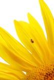 Sunflower and ladybug Stock Image