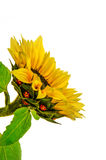 Sunflower and ladybugs Royalty Free Stock Photos