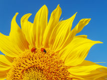 Sunflower and ladybugs. Stock Photos