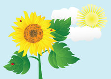 Sunflower with ladybugs. vector illustration. Stock Images