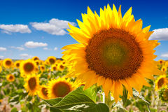 Sunflower landscape Stock Photography