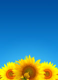 Sunflower landscape Stock Photos