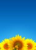 Sunflower landscape Stock Photos