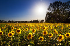Sunflower landscape Royalty Free Stock Image