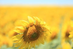 Sunflower in a large field. Royalty Free Stock Photo