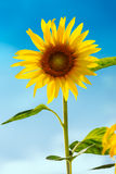Sunflower (lat. Helianthus) with blue sky, Germany. Sunflower (lat. Helianthus) with blue sky in Germany Stock Photography