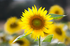 Sunflower (lat. Helianthus) at summertime, Germany Stock Photo
