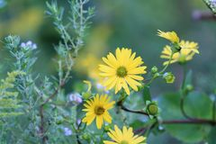 Sunflower in late summer stock image