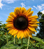 Sunflower, Late Summer in New England Royalty Free Stock Image
