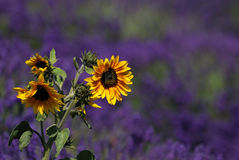 Sunflower with lavender background Royalty Free Stock Image