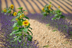 Sunflower and lavender Royalty Free Stock Image
