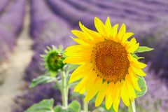 Sunflower and Lavender field Royalty Free Stock Photography