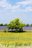 Sunflower and lavender fields Stock Photography